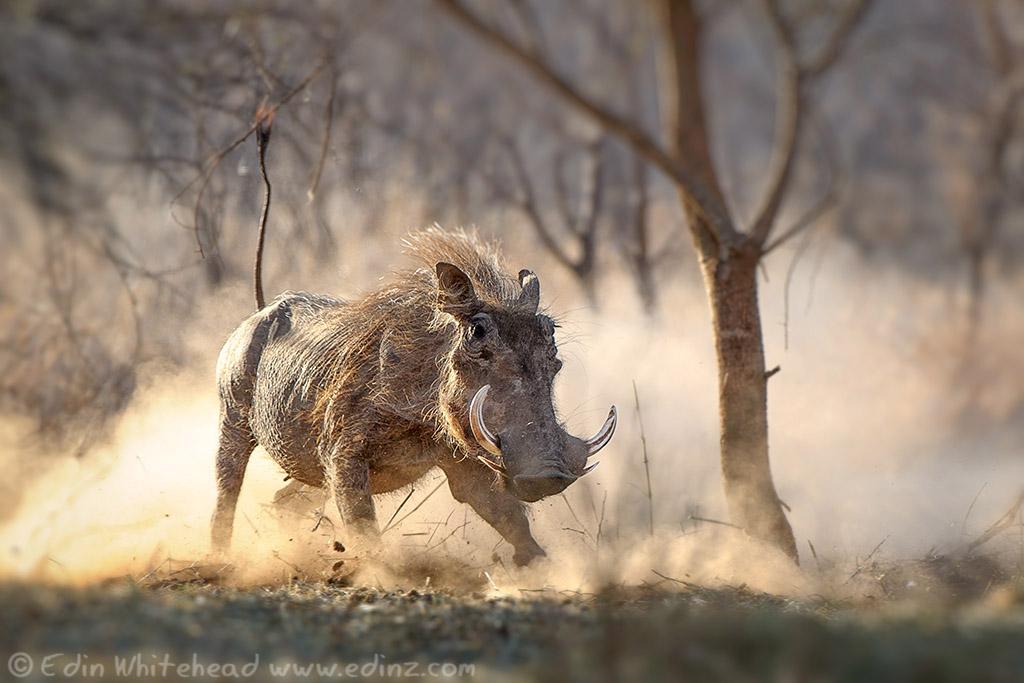 Warthog sow charging.