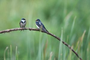 Swallows_EAW_7561-EditWEB.jpg