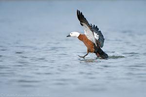 Female Paradise Duck