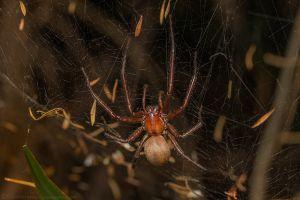 C. foliata on web